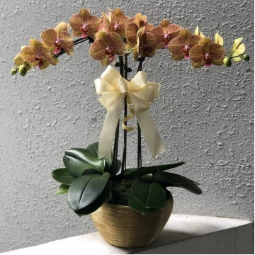 Special Phalaepnosis Orchid Vase